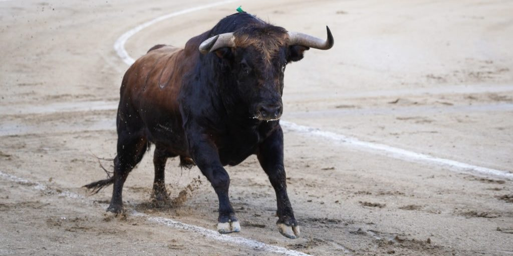 Fighting bull running